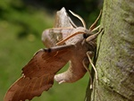 Poplar Hawk-moth (Laothoe populi)